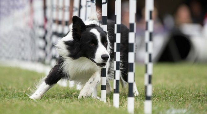 A Look at How Good Canine Athletes Really Are